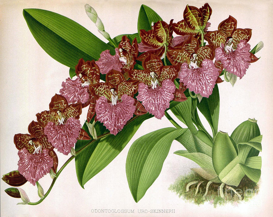 orchid-odontoglossum-uro-skinnerii-biodiversity-heritage-library